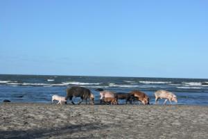 Eine Schweine-Familie am Strand von Santa Domingo