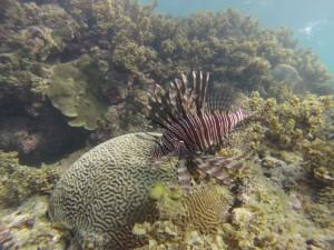 Giftig! Der pazifischer Rotfeuerfisch gehört zu den Skorpionsfischen