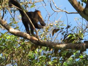 Hoch in den Baumkronen ist das Reich der Affen