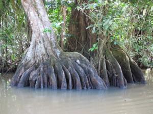 Wunderschön wie sich die Bäume mit ihren Brettwurzeln aus den Lagunen erheben