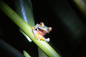 Rote Augen, starrer Blick: Dieser Frosch sitzt  im Garten der Öko-Lodge