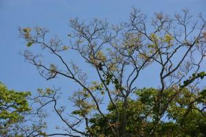 Hoch oben im Baum: ein Faultier