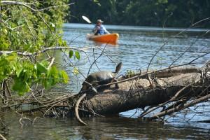 Eine schwarze Flussschildkröte sonnt sich