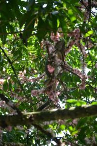 Vom Buffet aus zu sehen: ein Leguan im Baum