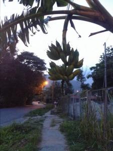Bananen-Stauden am Abend