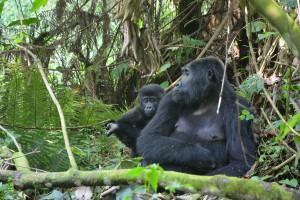 Das Gorilla-Baby klammert sich an die Mama