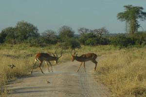 Impalas kämpfen mitten auf dem Weg