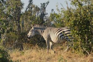 Neben dem Auto: ein Zebra