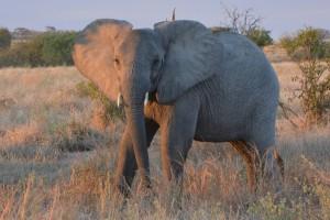 Gefährlich nah: ein Elefant